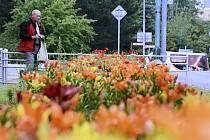 Záhon lilií v Mostě