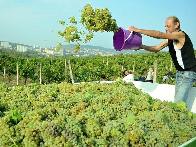Na vinicích v Mostě začala hlavní sklizeň