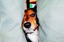 Pes, který dostává injekci proti vzteklině, si schoval hlavu mezi nohy chovatele. Očkování v roce 2014.