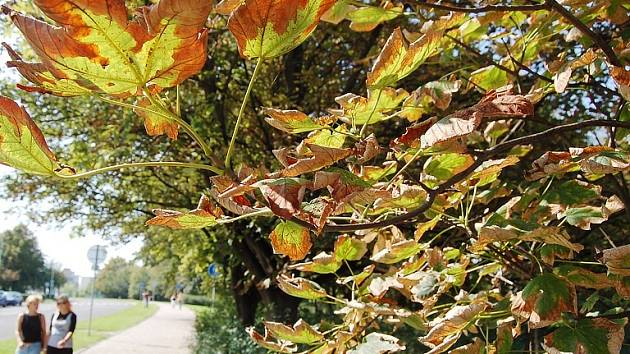 Takto vypadá mnoho stromů na Mostecku. Listy usychají. Může za to sůl.