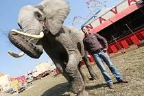 Slonice Temba, jedna za atrakcí Cirkusu King.