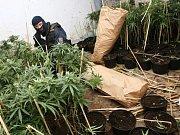 Policejní zátah na pěstitele marihuany.