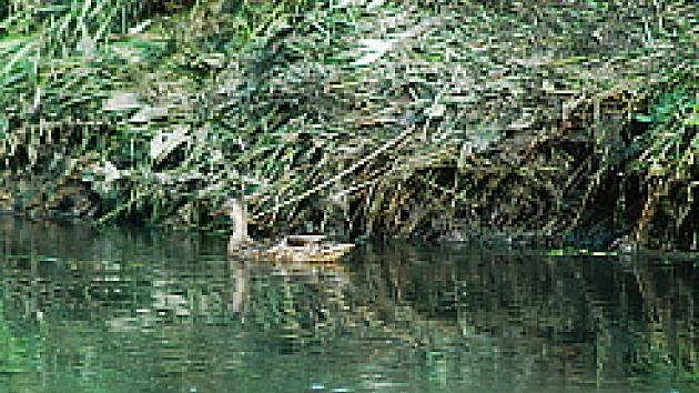 Fotografie pořízená 23. července. Čistota vody je již lepší než v minulých dnech, na březích jsou však stále patrné stopy po páchnoucím bahně. Podle místních měly i kachny černé peří, nyní jsou již čisté.