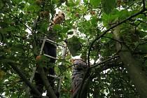 Dobře maskovaní byli někteří energetici z  Elektrárny Prunéřov, kteří pomáhali v Dětském domově v Mašťově se sklizní jablek.