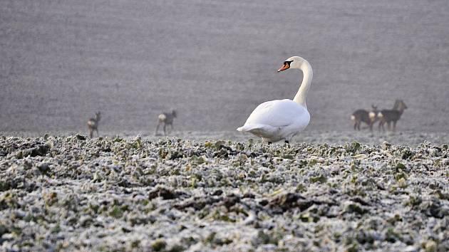 Za mosteckým Vtelnem se pasou labutě spolu se stádem srnčí zvěře
