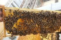 Včely na střeše Městké knihovny v Mostě.