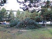 Osm borovic bránilo ve výstavbě kluziště u radnice v Mostě.