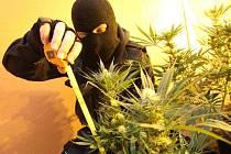 Odhalení pěstírny marihuany na Mostecku.