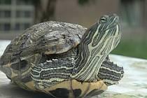 Tuto želvu vytáhl mostecký rybář z rybníka.