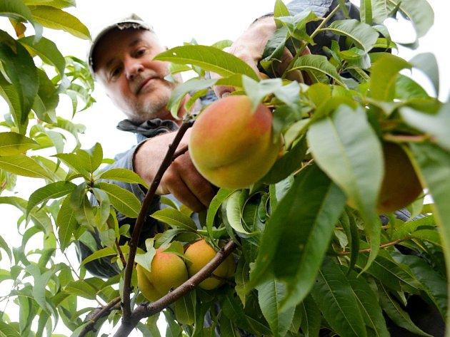 """Majitel sadů ve Vtelně Rudolf Weber sklízí poslední letošní broskve. """"Letos byla dobrá úroda,"""" říká. Vše se prodalo v Mostě: 1,3 kg za 30 Kč."""