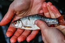 Žáci mohou sledovat online komentované vypouštění ryb do Bíliny.