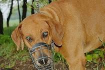 Jeden z mála psů v parku Šibeník, kteří mají na čelistech náhubek.