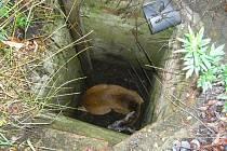 Srnec uvězněný ve třímetrovém kanálu.