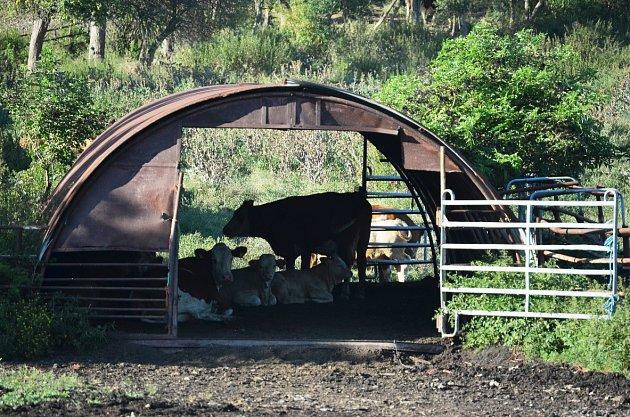 Krávy uSvinčic odpočívají ve stínu během odpoledního žáru.