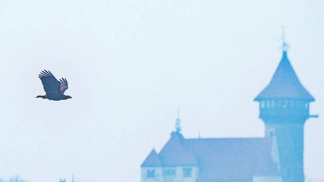 Orel mořský v Mostě. V pozadí hrad Hněvín.