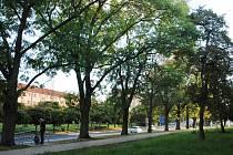 Ulice ČSA v Mostě, kde se má pokácet část aleje jasanů kvůli rekonstrukci kanalizace a vodovodu mezi Lunou a gymnáziem. Nyní se pracuje u gymnázia.