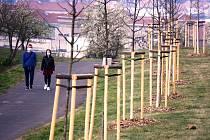 Nové stromořadí v parku Šibeník