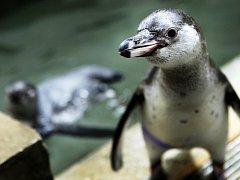 Ústecká zoo plánuje chov tučňáků.