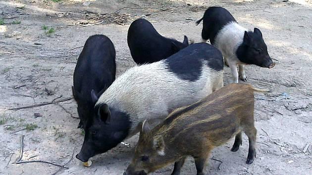 Podle myslivců někdo zřejmě pustil vietnamská prasata  na pastvu ven, došlo k polozdivočení  a oplození vietnamských bachyněk kňourem prasete divokého.