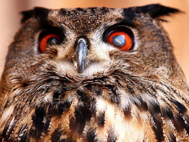 Na Zlatníku žije kolem 60 druhů ptáků včetně sov, například výr velký.