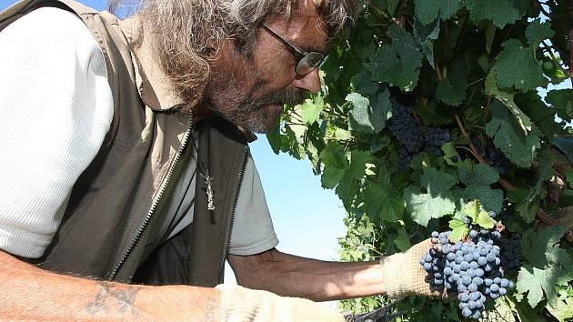 Česáči sklízejí víno na mostecké vinici pod vrchem Špičák.