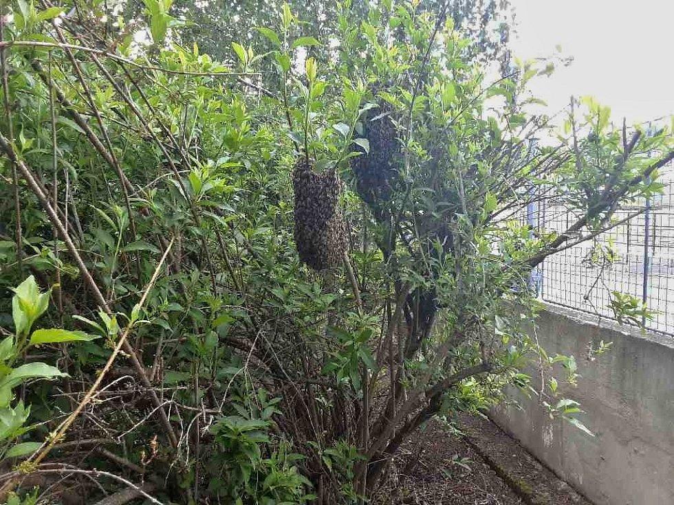 Včelí roje u školky v Bečově