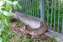 Srnec zaklesnutý v plotě.