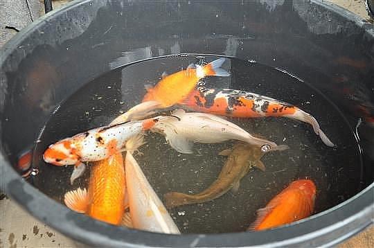 Okrasné ryby, které se prohánějí v kašně.