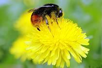 Pampeliška neboli Smetanka lékařská je léčivá úplně celá od kořene až po květ. Výborně se hodí pro čistící jarní jaterní kůry, čistí krev, odstraňuje škodliviny z těla, podporuje trávení a látkovou výměnu a je silně močopudná.