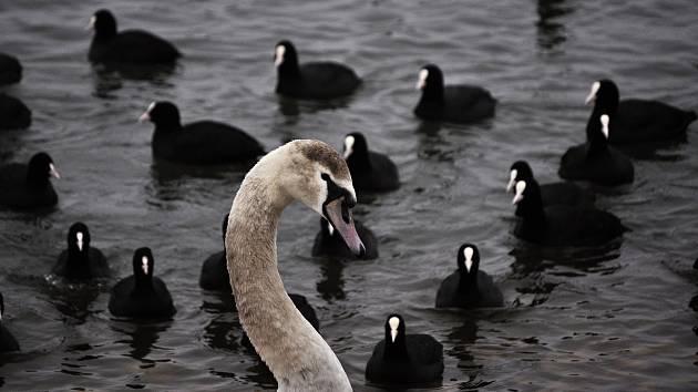 Zimoviště ptáků na jezeru Most, neděle 21. února 2021.
