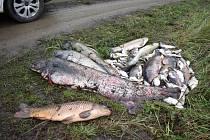 Uhynulé ryby na Farském rybníku.
