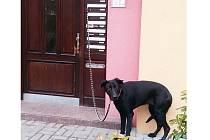 Uvázený pes.