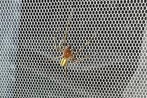 Irena z Mostu poslala Deníku fotku pavouka se sdělením, že je to zápřednice jedovatá
