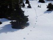 Typická stopní dráha vlků v klusu. Fotografie byla pořízena v oblasti kolem Klínovce