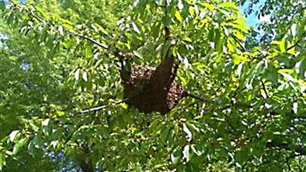 Roj včel na stromě v Mostě