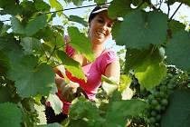 Lenka Šebková z Českého vinařství Chrámce odsekává srpem příliš dlouhé letorosty vinné révy na vinici na úpatí mostecké hory Špičák. Odborně se tomu říká osečkování.