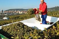 Sklizeň hroznů na mostecké vinici.