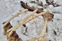 Mezi důkazy o výskytu vlků v Krušných horách patří kromě snímků z fotopasti také zbytky vlčí večeře.