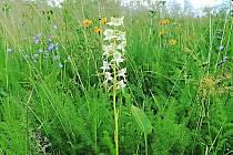 Vemeník zelenavý (Platanthera chlorantha).