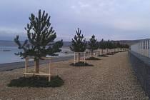 V Mostě pokračuje sázení stromů.