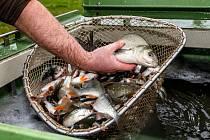 Řeka Bílina ožila. Severočeští rybáři do ní vypustili nové ryby.