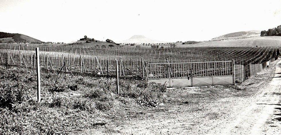 Vinice v Chrámcích u Mostu. Tehdy skoro nikdo nevěděl, že réva vinná se pěstovala v Mostě od 12. století.