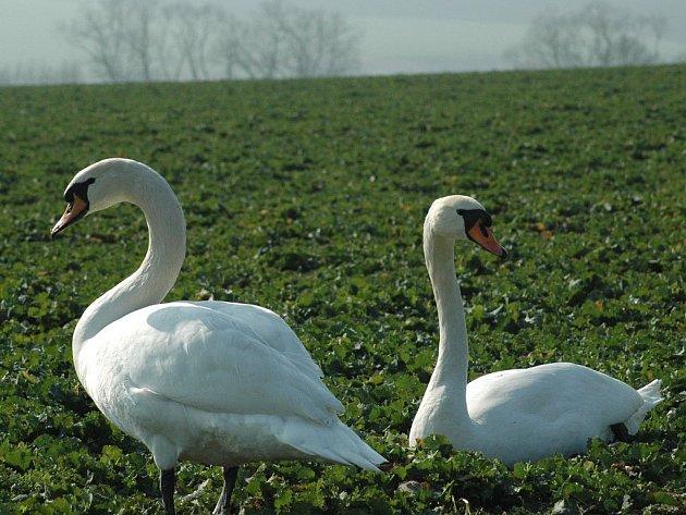 Labutě se usadily trochu netradičně místo rybníku na poli u Nemilkova. Pobývají tam již druhý týden.