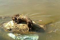 Uhynulá bachyně se šípem v boku. Na ní stojí lovecký pes, který dokáže zvěř vyhledat.