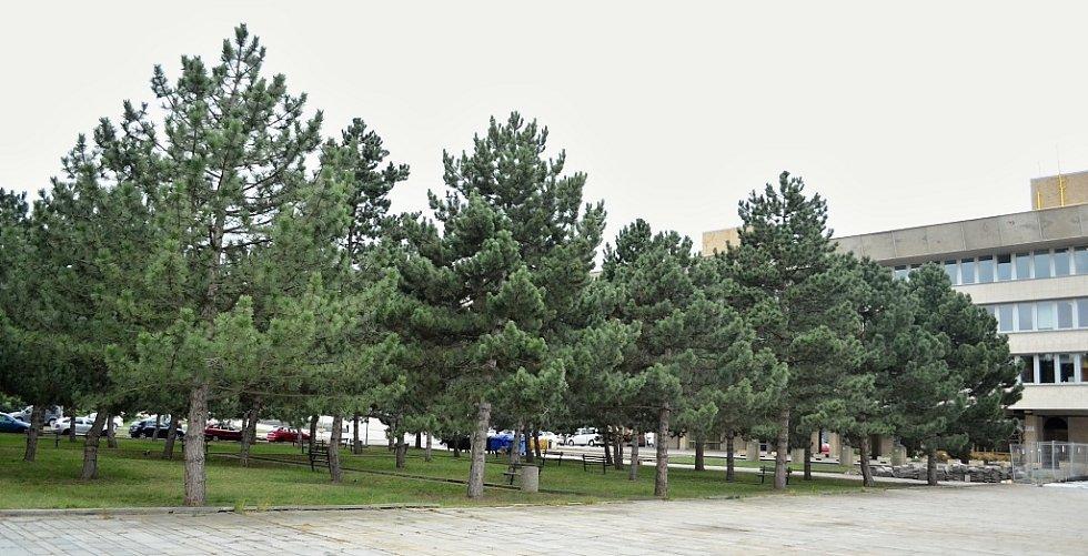 Mezi borovicemi u radnice v Mostě bude kluziště. Zanikne 8 stromů ze 48