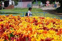 Záhon lilií zdobí ulici SNP v Mostě