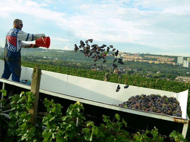 Sklizeň hroznů na vinici pod Špičákem v Mostě.