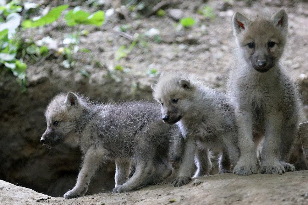Malá vlčata jsou, tak jako všechna mláďata, velmi roztomilá. Původně se Canis lupus vyskytoval po celé severní polokouli, na mnoha místech byl ale vyhuben. Ilustrační foto