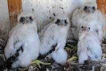 Hned čtyři mláďata se vylíhla ve speciálním hnízdišti na komíně teplárenské společnosti United Energy v Komořanech.