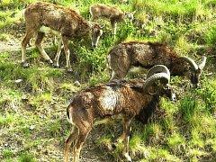 Mufloni s mládětem na pastvě.